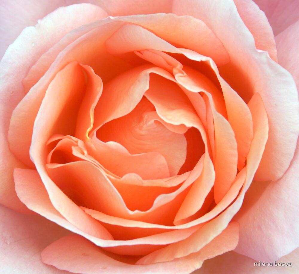 light pink rose by milena boeva