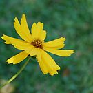 Coreopsis by rd Erickson