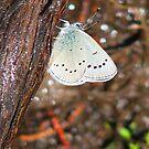 Under side of wings of Western Pygmy Blue Butterfly by Dave Sandersfeld