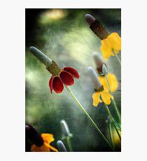 Prairie Coneflower Fotodruck