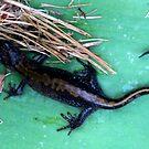 John Day River Salamander by Dave Sandersfeld