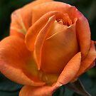 Rose of  Orange by Joy Watson