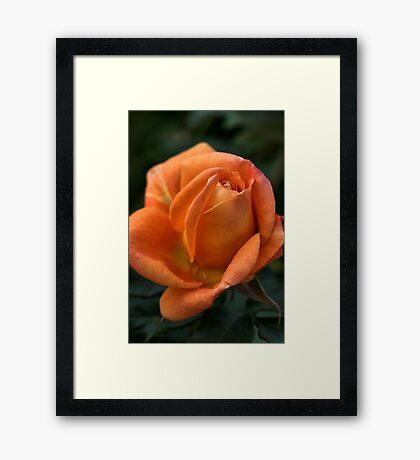 Rose of  Orange Framed Print