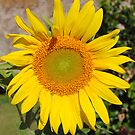 Super sunflower by outbackwriter
