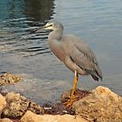 White-Faced Heron by Robert Abraham
