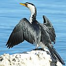 Little Pied Cormorant by Robert Abraham