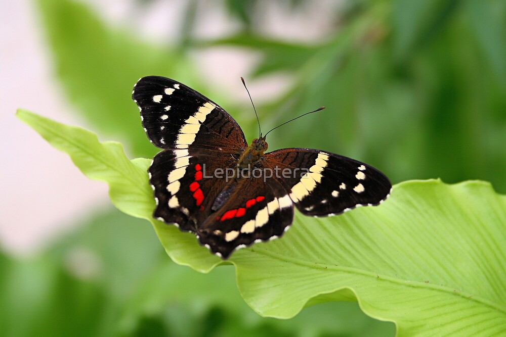 Banded Peacock - Anartia fatima by Lepidoptera