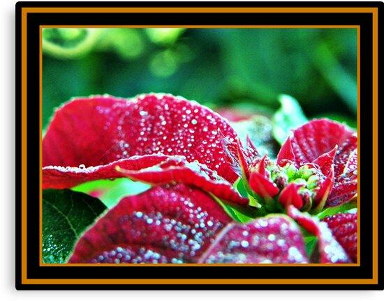 Poinsettia (pinhead sized dewdrops) by Burnie