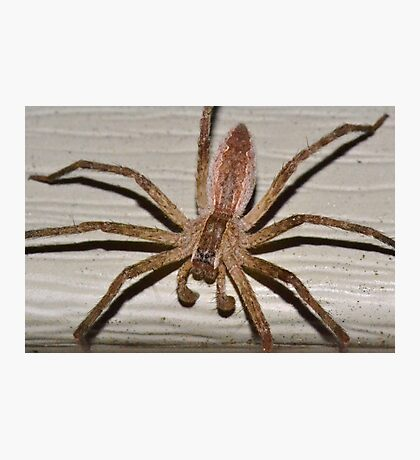 Scary Nursery Web Spider. Photographic Print