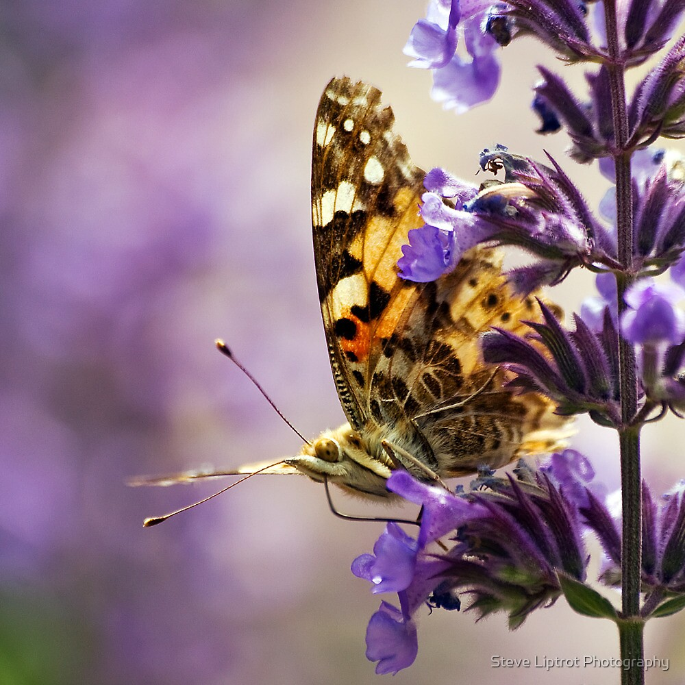Painted Lady by Stephen Liptrot