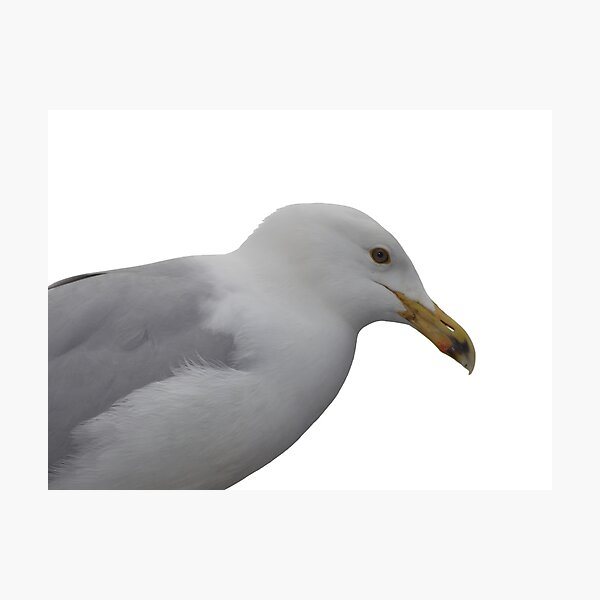 Seagull/ Gul  Photographic Print