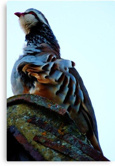 Red Legged Partridge by Kim Slater