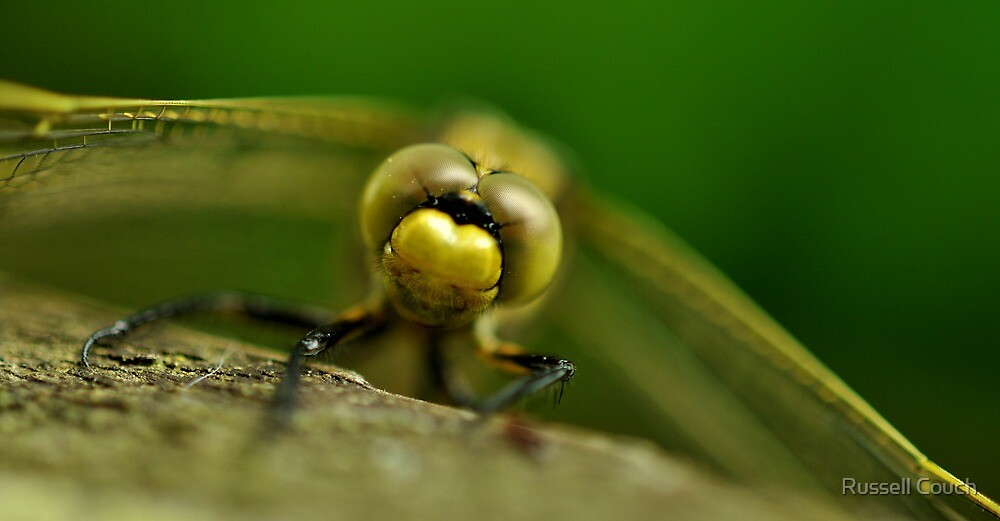 Four-spotted chaser by Russell Couch