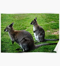 Wallaby and Baby Poster