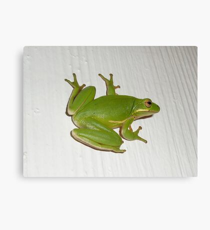 Green Tree Frog - Hyla cinerea Canvas Print