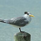 Adult Crested Tern by Robert Abraham