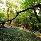 Suffolk bluebell wood by Christopher Cullen