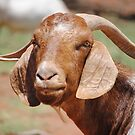 Billy Goat Gruff by outbackwriter
