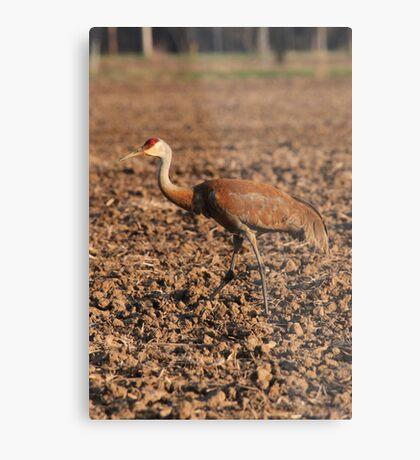 Sandhill Crane in Field Metal Print