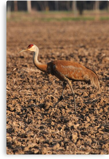 Sandhill Crane in Field by Thomas Murphy