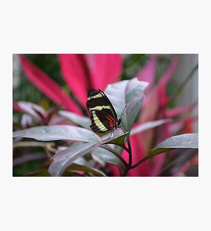 The Postman Butterfly, posing on a leaf Photographic Print