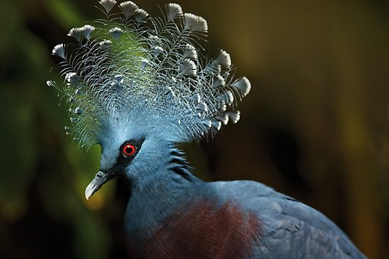 Victoria Crowned Pigeon by Dominika Aniola
