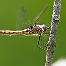Beaver Pond Basket-tail Dragonfly by Michael Cummings