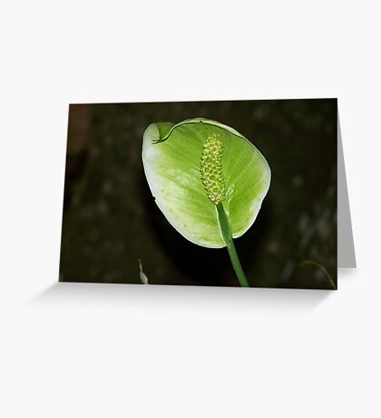 Spathiphyllum Greeting Card