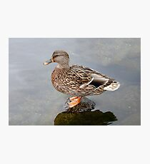 Spring Duck Photographic Print