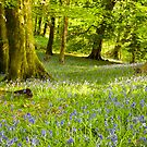 Aberdeunant bluebells by Rory Trappe