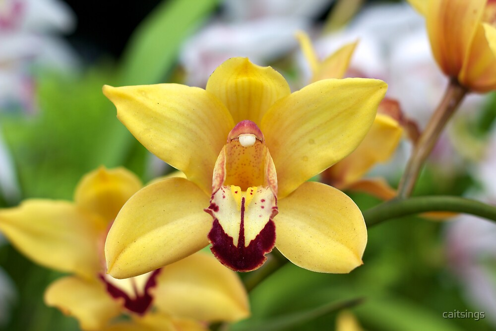 Yellow Orchid - NYBG Orchid Show 2011 by caitsings