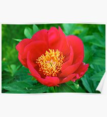 Red Peony - NYBG Spanish Paradise Show Poster