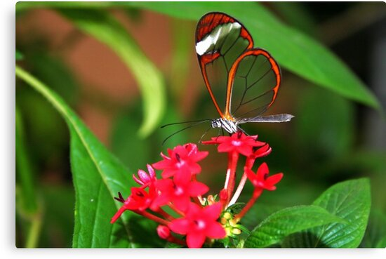 Flower Glasswing - Greta Oto by Lepidoptera