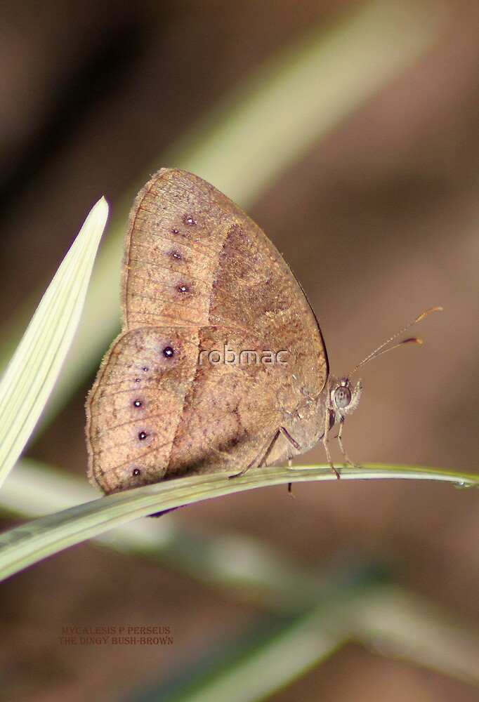 The dingy bush-brown by robmac