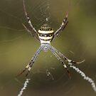 St. Andrew's Cross Spider - Argiope keyserlingi by Andrew Trevor-Jones