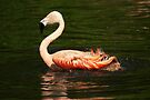 Flitter-flutter - Bathing flamingo by steppeland