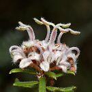 Grey Spider Flower - Grevillea buxifolia by Andrew Trevor-Jones