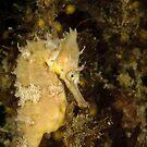White's Seahorse - Hippocampus whitei by Andrew Trevor-Jones