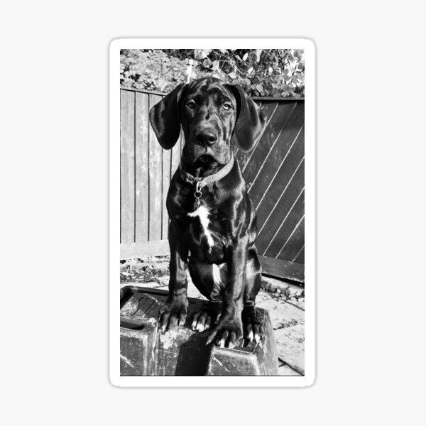 Great Dane Puppy Black and White Sticker
