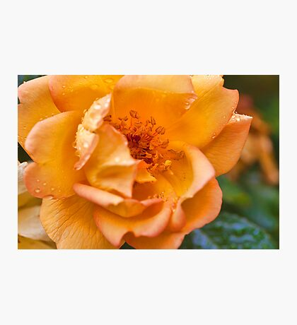 Rose in the rain Photographic Print