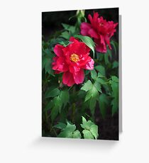 Chinese herbaceous peony Greeting Card