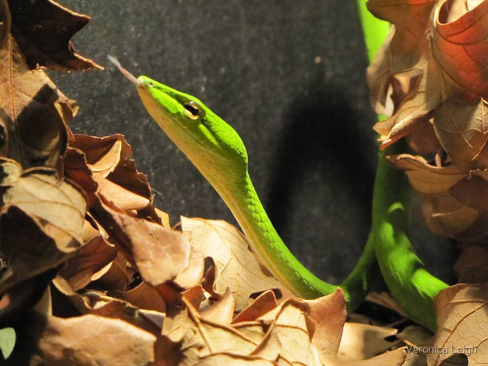 Asian Vine Snake by Veronica Schultz