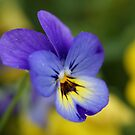 Miniature Pansy with Yellow Mates by genez