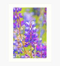 an explosion of lupines... Art Print