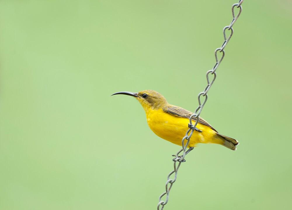 Bird on a wire - sunbird  by Jenny Dean