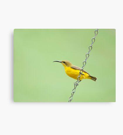 Bird on a wire - sunbird  Canvas Print