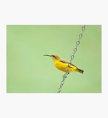 Bird on a wire - sunbird  Photographic Print