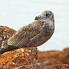 Juvenile Pacific Gull by Robert Abraham