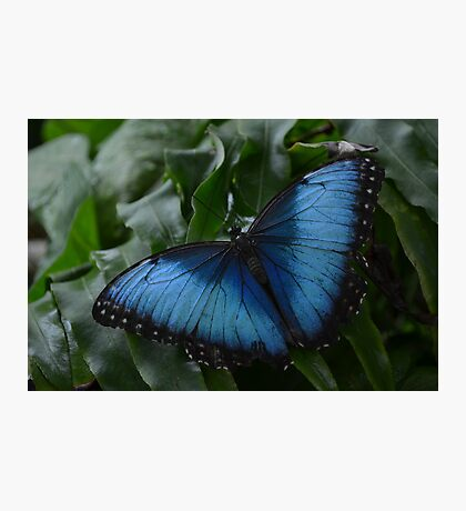 Blue Morpho Butterfly on Fernleaf Photographic Print