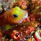 Cheeky blenny peeking out of the reef by shellfish